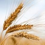cereali_grano